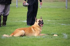 A Malinois Belgian Shepherd dog who exercises the refusal of bait for the dog contest. Malinois Belgian Shepherd dog who exercises the refusal of bait for the Stock Images