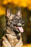 Malinois - Belgian Shepherd. Photo of malinois dog. Belgian Shepherd Royalty Free Stock Photography