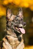 Malinois - Belgian Shepherd Royalty Free Stock Photography