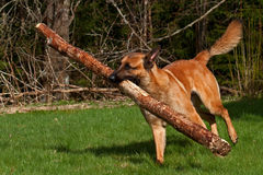 Malinois Belgian Shepherd. Running with a large log in the mouth Stock Images