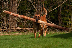 Malinois Belgian Shepherd. Running with a large log in the mouth royalty free stock images
