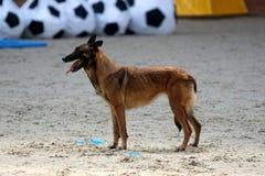 A Belgian shepherd at the mondioring contest. stock photography