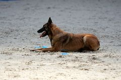 A Belgian shepherd at the mondioring contest. stock images