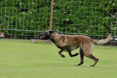 Malinois, Belgian Shepherd, working test. In a canine center in Spain Royalty Free Stock Image