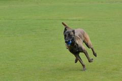 Malinois, Belgian Shepherd, working test. In a canine center in Spain Stock Photography