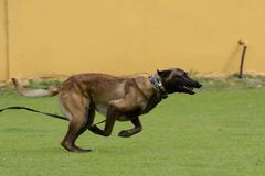 Malinois, Belgian Shepherd, working test. In a canine center in Spain Stock Photo
