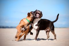 Malinois and bull terrier puppies play. Two puppies biting and playing on the beach Royalty Free Stock Photo