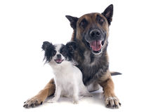 Malinois and chihuahua. Purebred belgian sheepdog malinois and chihuahua on a white background Stock Image