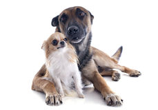 Malinois and chihuahua. Purebred belgian sheepdog malinois and chihuahua on a white background Stock Photo