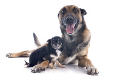 Malinois and chihuahua. Purebred belgian sheepdog malinois and chihuahua on a white background Royalty Free Stock Image