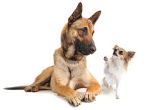 Malinois and chihuahua. Purebred belgian sheepdog malinois and chihuahua on a white background Stock Photos