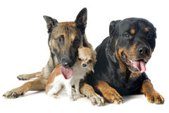 Malinois, chihuahua and rottweiler. Purebred belgian sheepdog malinois, chihuahua and rottweiler on a white background Royalty Free Stock Images