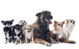 Malinois and chihuahuas. Purebred belgian sheepdog malinois and chihuahuas on a white background Royalty Free Stock Photo