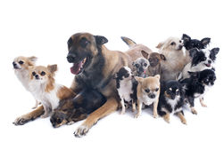 Malinois and chihuahuas. Purebred belgian sheepdog malinois and chihuahuas on a white background Royalty Free Stock Image