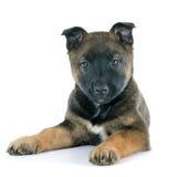 Malinois do cachorrinho Fotografia de Stock Royalty Free