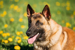 Malinois Dog. Belgian Shepherd Dog Resting In Green Grass Stock Photos