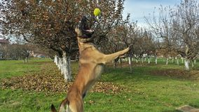 Malinois dog,Belgian shepherd. Malinois dog in jump catches a tennis ball Royalty Free Stock Photo