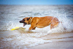 Malinois dog catches frisbee in the sea Royalty Free Stock Photos