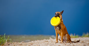 Malinois dog with a frisbee disc. Belgian shepherd dog on the beach Stock Photo
