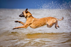 Malinois dog jumps in the sea Stock Image