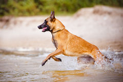 Malinois dog jumps in the sea Royalty Free Stock Photo