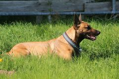 Malinois dog portrait. Malinois dog is lying in the garden Royalty Free Stock Photos