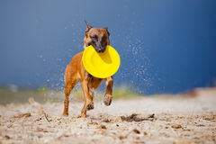 Malinois dog playing with frisbee Royalty Free Stock Images