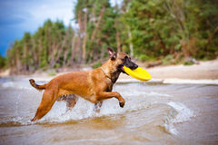 Malinois dog playing with frisbee. Belgian shepherd dog on the beach Royalty Free Stock Photography