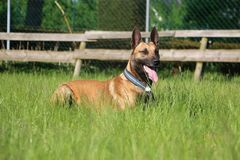 Malinois dog portrait. Malinois dog is lying in the garden Royalty Free Stock Photography