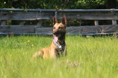 Malinois dog portrait. Malinois dog is lying in the garden Royalty Free Stock Photo