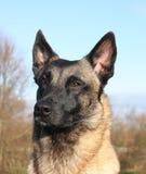 Malinois dog. Portrait of a malinois shepherd Stock Image