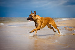 Malinois dog running on the beach Stock Images