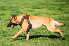 Malinois Dog Running Outdoors In Green Summer Grass At Training. Malinois Dog Fast Running Outdoors In Green Summer Grass At Training. Well-raised And Trained Stock Image