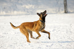 Malinois dog runs. In a snow field Royalty Free Stock Image