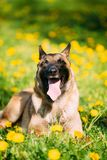 Malinois Dog Sit Outdoors In Green Grass. Funny Smiling Malinois Dog Sit Outdoors In Green Spring Meadow. Well-raised And Trained Belgian Malinois Are Usually Royalty Free Stock Image