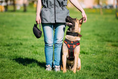 Malinois Dog Sit Outdoors In Green Grass. Malinois Dog Sit Outdoors In Green Summer Grass Near Owner At Training. Well-raised and trained Belgian Malinois are Royalty Free Stock Photography
