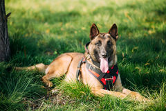 Malinois Dog Sit Outdoors In Green Grass. Malinois Dog Sit Outdoors In Green Summer Grass. Well-raised and trained Belgian Malinois are usually active Royalty Free Stock Photos