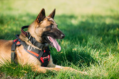 Malinois Dog Sit Outdoors In Green Grass. Malinois Dog Sit Outdoors In Green Summer Grass. Well-raised and trained Belgian Malinois are usually active Stock Photos
