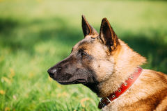 Malinois Dog Sit Outdoors In Green Grass. Malinois Dog Sit Outdoors In Green Summer Grass. Well-raised and trained Belgian Malinois are usually active Stock Image