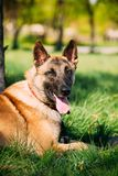 Malinois Dog Sit Outdoors In Green Grass. Malinois Dog Sit Outdoors In Green Summer Grass. Well-raised and trained Belgian Malinois are usually active Royalty Free Stock Image