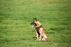 Malinois Dog Sit Outdoors In Green Summer Grass At Training. Cop. Malinois Dog Sit Outdoors In Green Summer Grass At Training. Trained Belgian Malinois Are royalty free stock photos