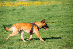 Malinois Dog Walking Outdoors In Green Summer Grass At Training. Well-raised And Trained Belgian Malinois Are Usually Active, Intelligent, Friendly, Protective Stock Photo
