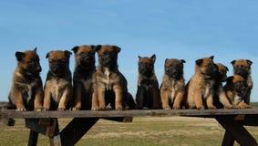 Malinois dos filhotes de cachorro fotografia de stock