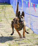 Malinois enthousiaste sur un cours d'attrait Photo stock