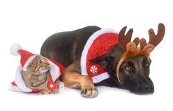 Malinois et chat de Noël Photos libres de droits