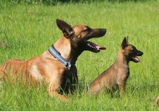 Malinois family in the garden. Malinois puppy is sitting in the garden with the mom Royalty Free Stock Image