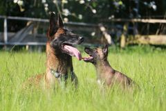 Malinois family in the garden. Malinois puppy is sitting in the garden with the mom Stock Images
