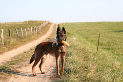 A malinois in the field. A dog with a corncob in his mouth Stock Photo