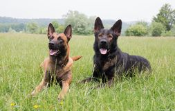 Malinois and german shepherd dog laying. Portrait of a beautiful malinois and german shepherd dog laying outside Royalty Free Stock Images