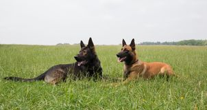 Malinois and german shepherd dog laying. Portrait of a beautiful malinois and german shepherd dog laying outside Royalty Free Stock Photography